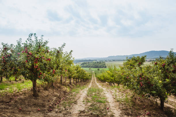 organic apples hanging from a tree branch in an apple orchard. sky with clouds - frutteto foto e immagini stock