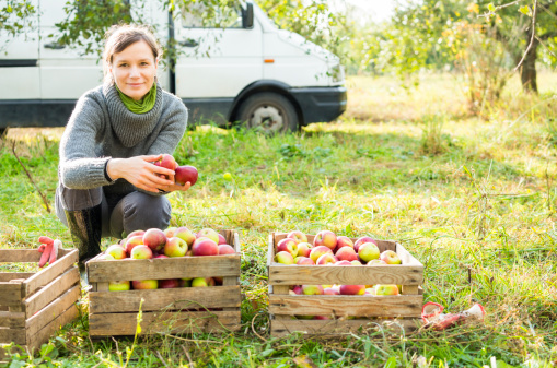 istock Organic apples harvesting 155381486