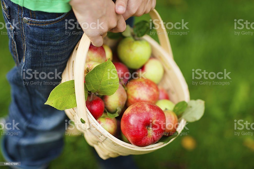 Organic apples in a basket royalty-free stock photo