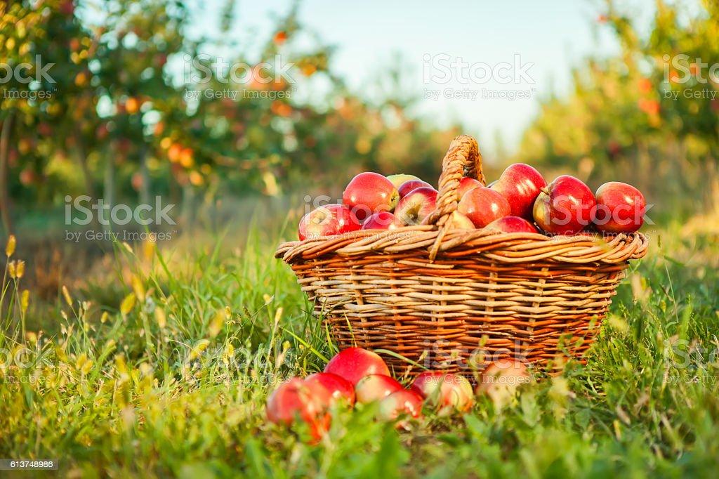 Organic apples in basket. stock photo