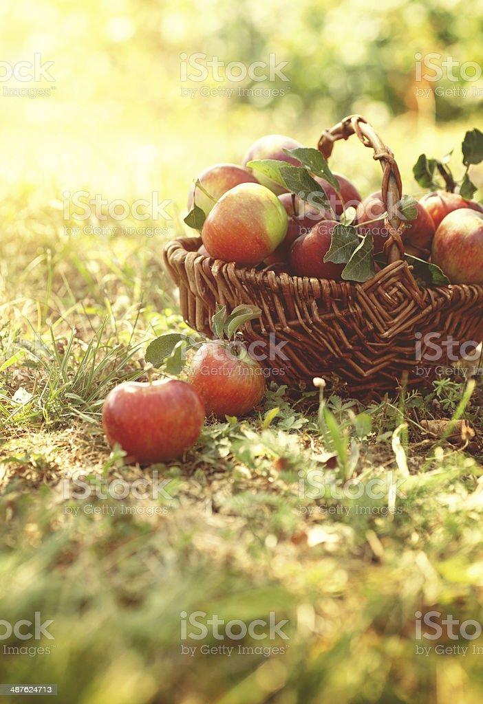 Bio Äpfel im Sommer Gras – Foto
