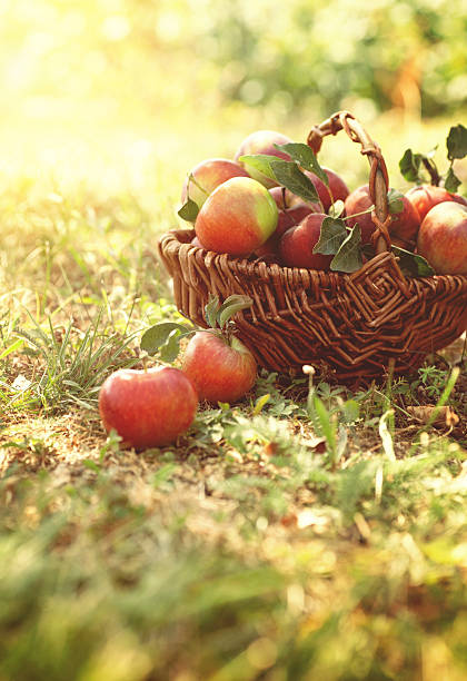 Organic apples in summer grass stock photo