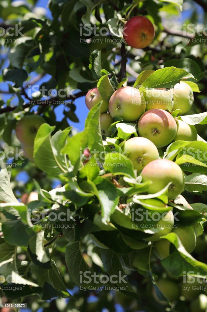 Organic apples on tree stock photo