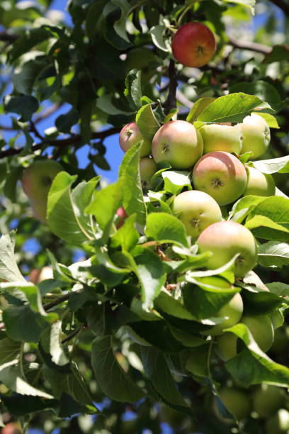 organic apples on tree - pejft stock photos and pictures