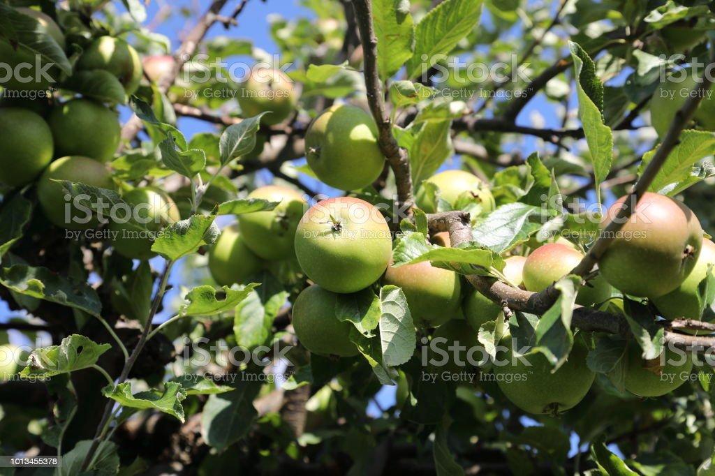 Organic apples on tree stock photo