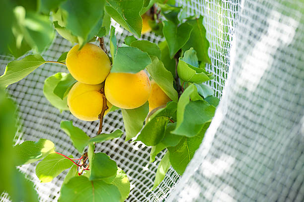 Organic Aprikosen Netzförmige gestreute im Freien – Foto