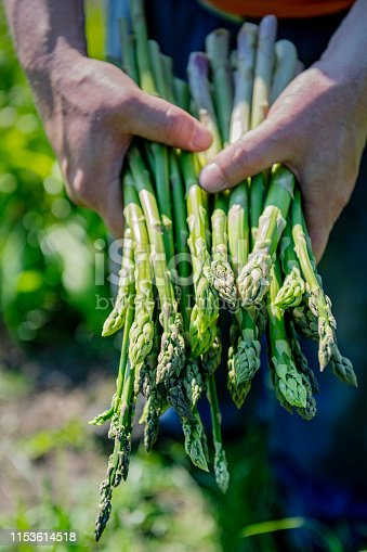 Close up detail shot of a farmer's hand holding a bunch of freshly cut asparagus stalks. Colour, vertical format with some copy space. Photographed on an organic farm on the island of Møn in Denmark.