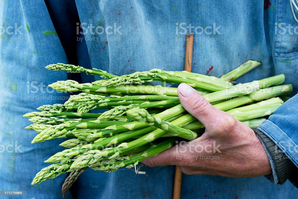 Organic Asparagus Harvesting stock photo