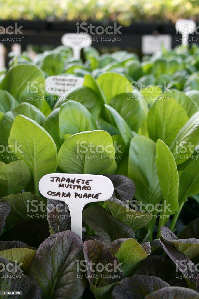 organic baby lettuce plants royalty-free stock photo