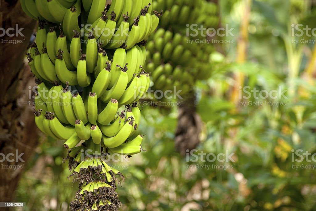 Organic Bananas stock photo