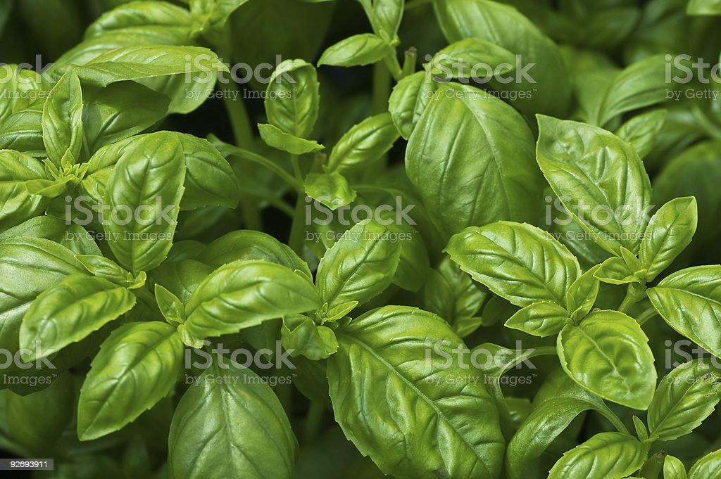 Organic Basil royalty-free stock photo