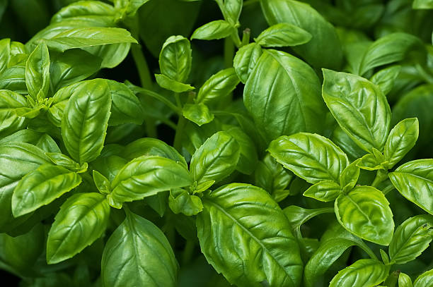 organic basil - basil stock photos and pictures