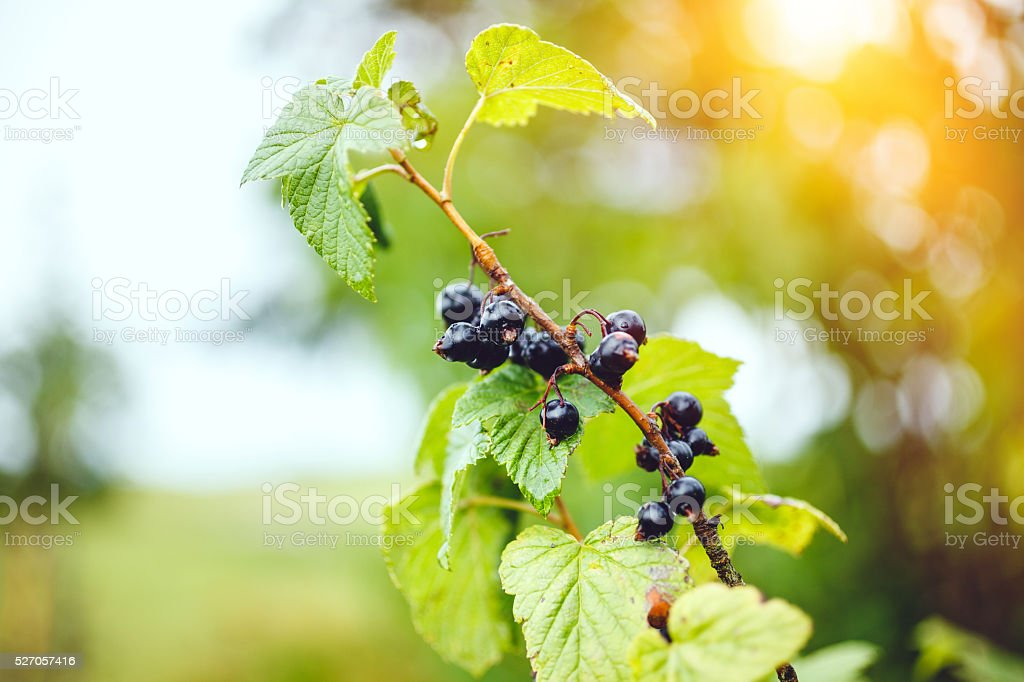 Organic blackcurrants stock photo