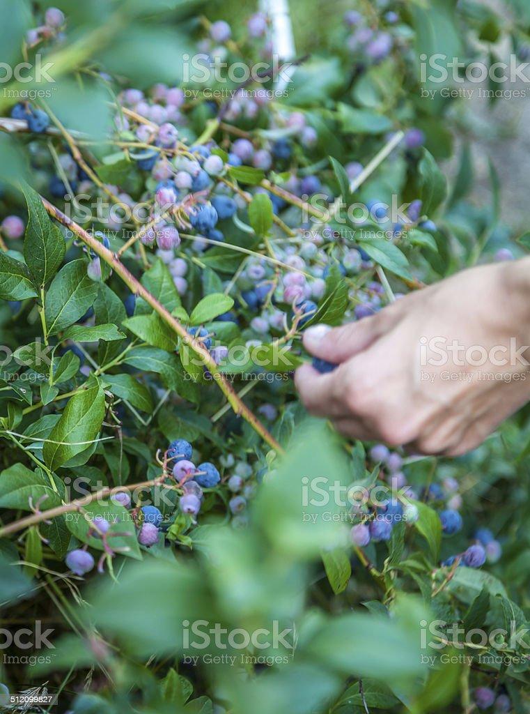 Organic blueberri bush stock photo
