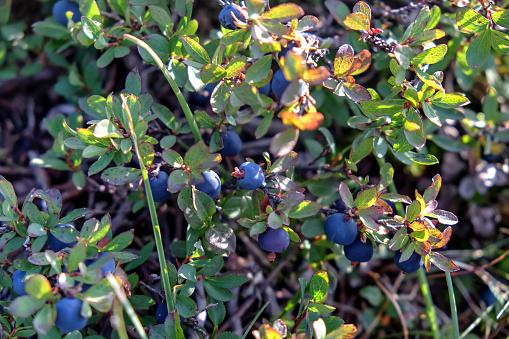 Organic blueberry farm