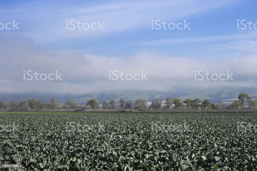 Organic Broccoli Field stock photo