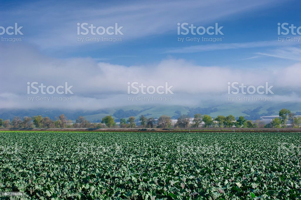 Organic Broccoli Field with Hills in Background stock photo
