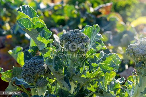 Organic Broccoli Growing On Organic Farm