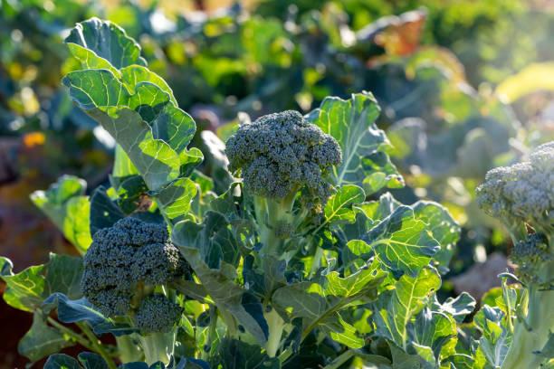 biologische broccoli - broccoli stockfoto's en -beelden
