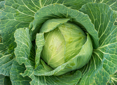 farm fresh cabbage detail with dewdrops