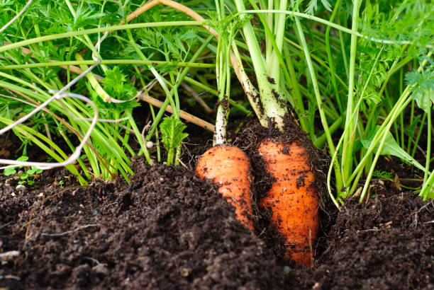 Organic carrots growing in the dirt stock photo