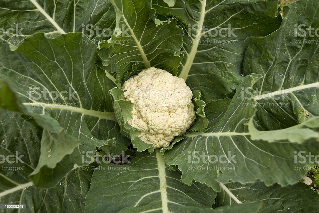 Organic Cauliflower plant royalty-free stock photo
