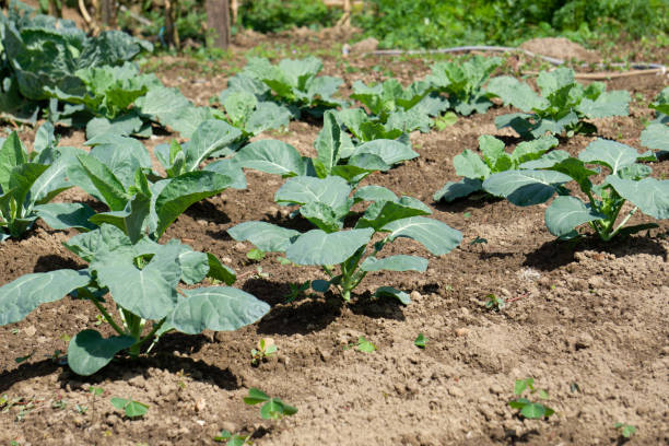 Organic cauliflowers plants growing on the land. Sustainable agriculture. stock photo