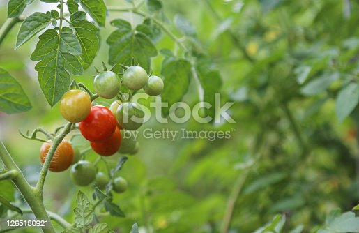 These tasty cherry tomatoes are ripening in the sun. Once they're red you can just pop them in your mouth!