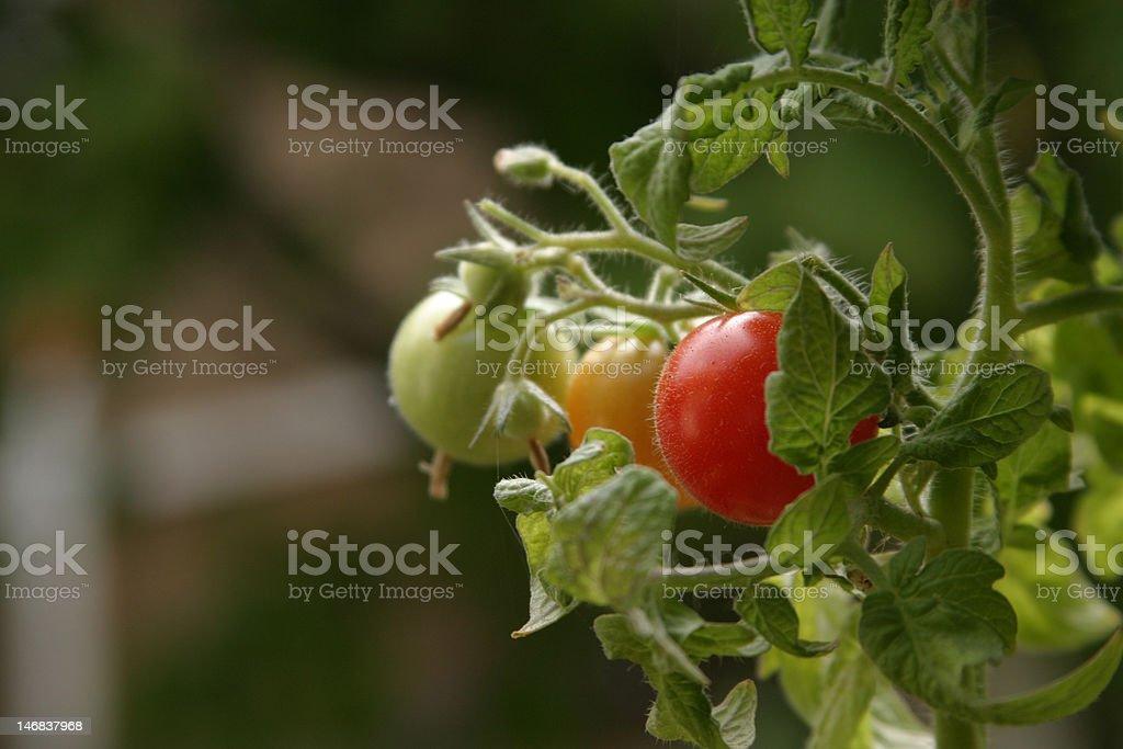 Organic Cherry Tomatoes royalty-free stock photo
