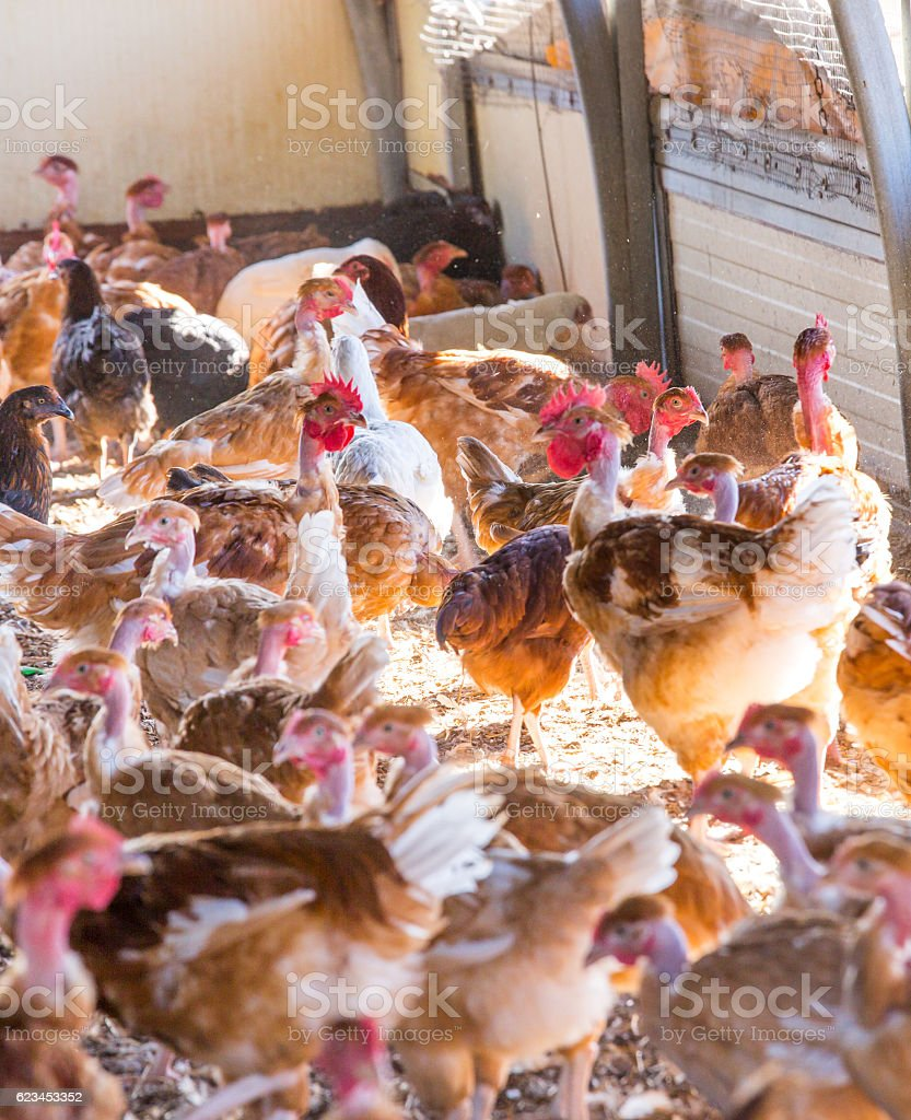 Organic chicken breeding in their shelters stock photo
