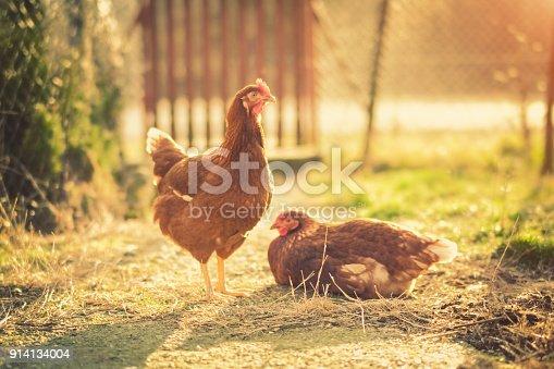 Chicken - Bird, Bird, One Animal, Animal, Poultry