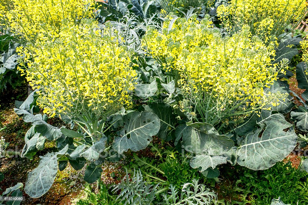 Organic chinese kale vegetable with yellow flower in a greenhouse organic chinese kale vegetable with yellow flower in a greenhouse royalty free stock photo mightylinksfo