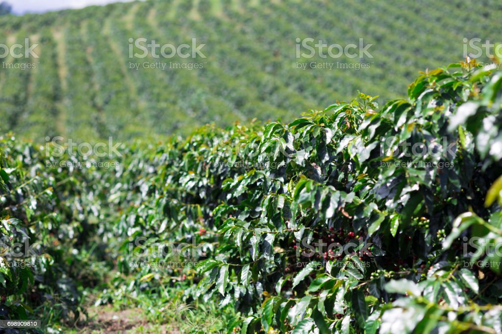 Organic Coffee Farm stock photo
