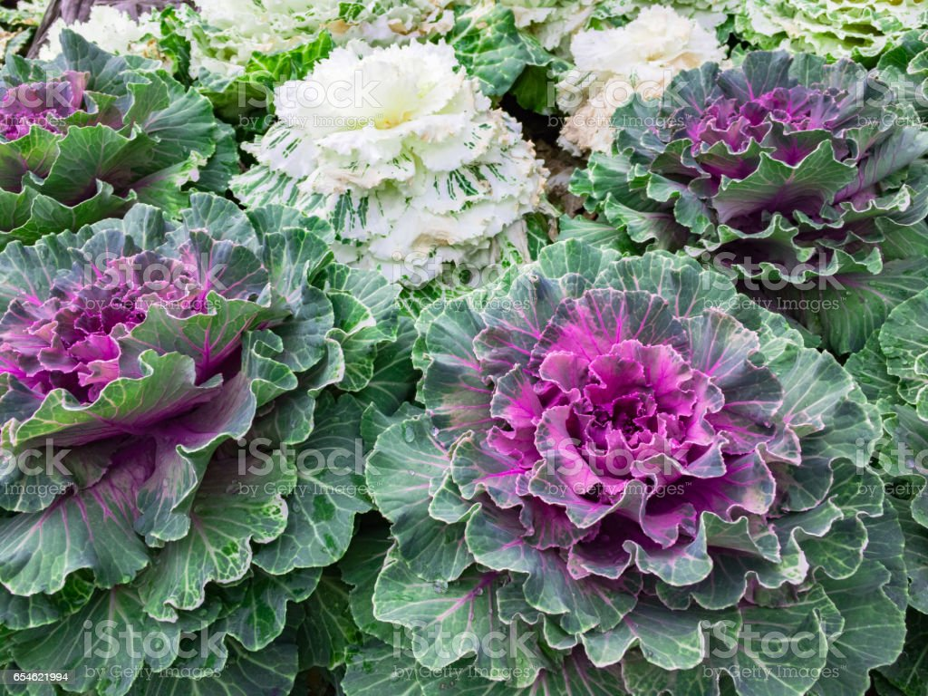 Organic Collard White And Red Cabbage Garden Salad Royalty Free Stock Photo