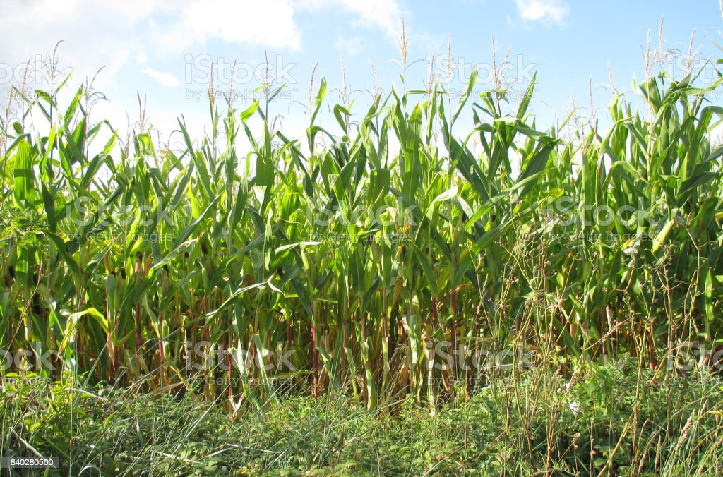 Organic Corn Camp stock photo