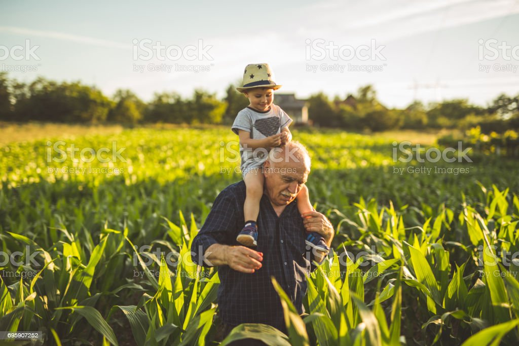 organic corn farm stock photo