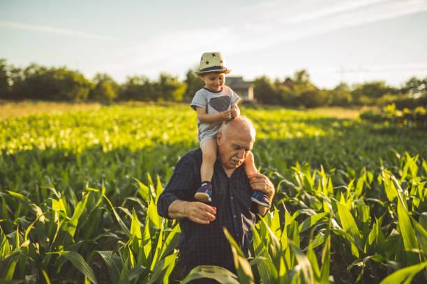 organic corn farm stock photo