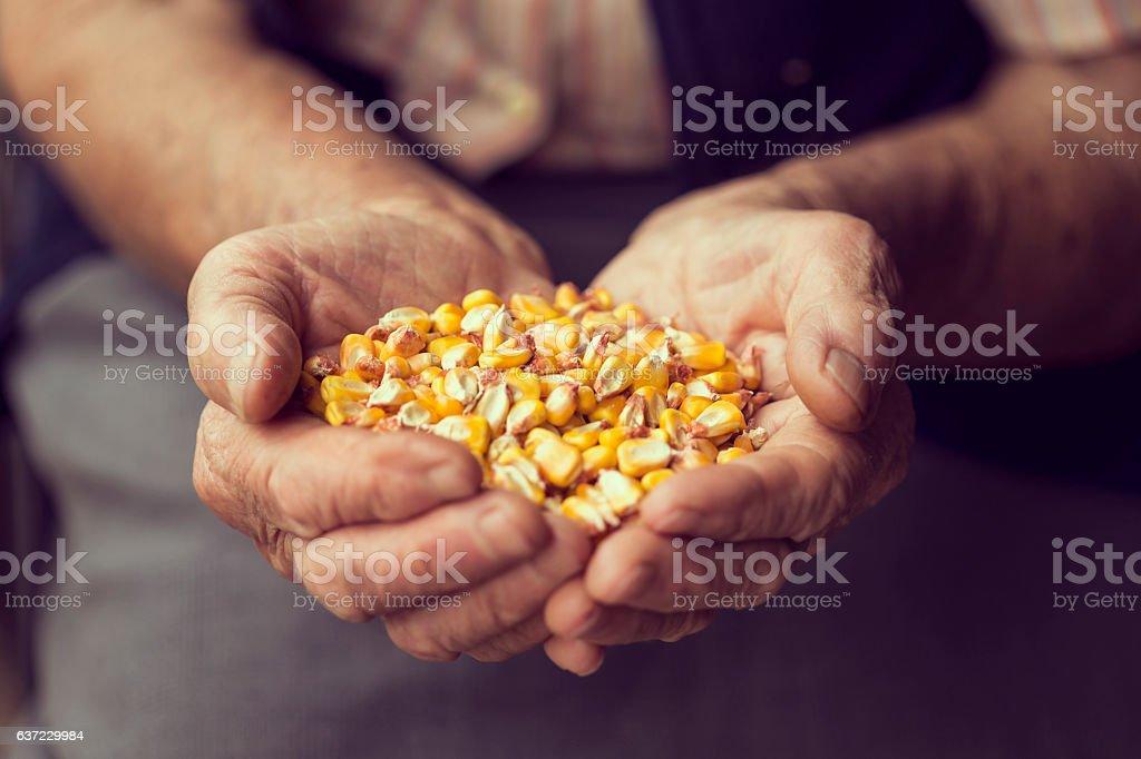 Organic corn production stock photo