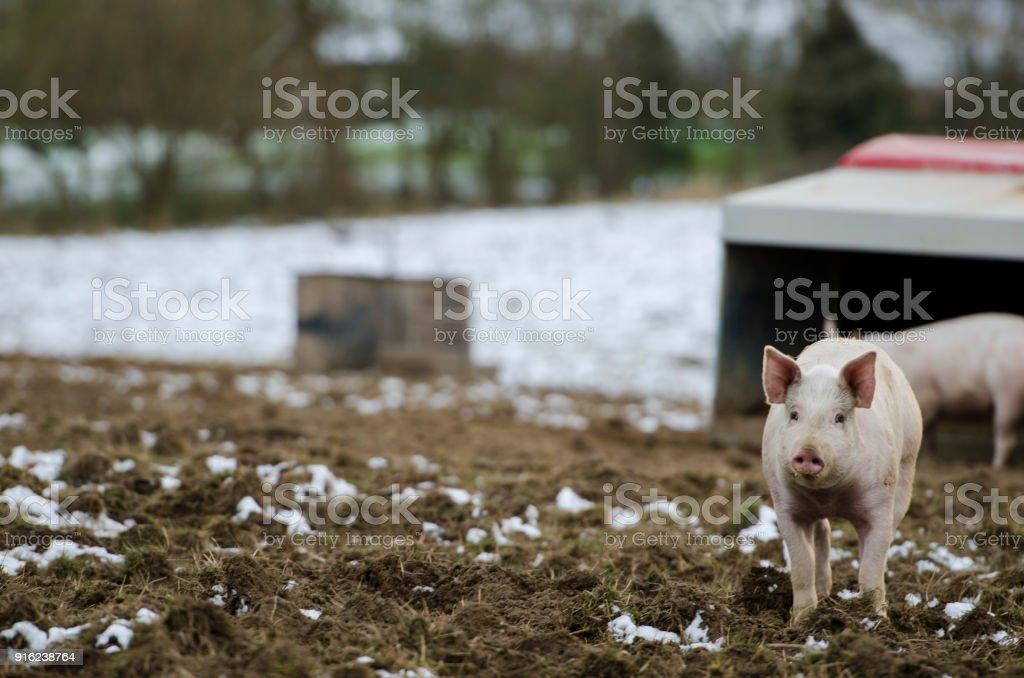 Organic danish pigs in wintertime stock photo