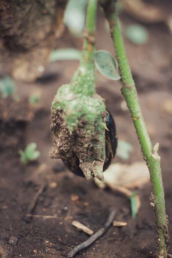 Organic eggplant growing in garden isolated