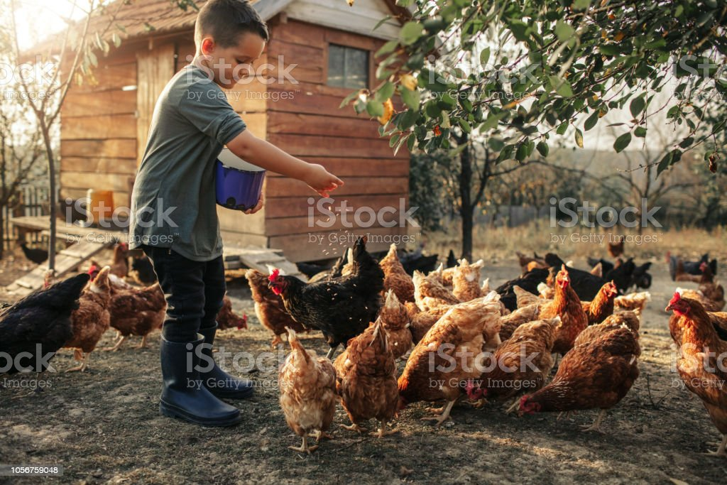 Organic Farm And Free Range Chicken Eggs 5 years old boy taking care of chicken, feeding them. 4-5 Years Stock Photo