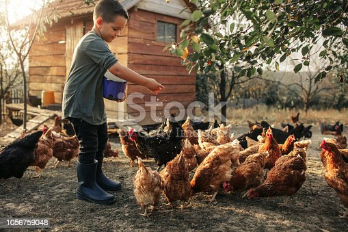 5 years old boy taking care of chicken, feeding them.
