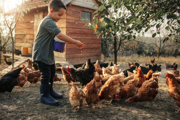 Organic Farm And Free Range Chicken Eggs 5 years old boy taking care of chicken, feeding them. chicken stock pictures, royalty-free photos & images