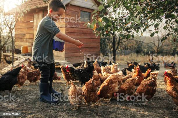 Organic Farm And Free Range Chicken Eggs Stock Photo - Download Image Now