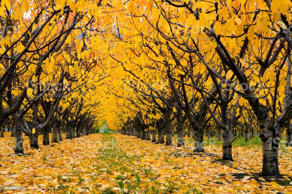 Organic Farm Autumn Cherry Orchard Okanagan Valley stock photo