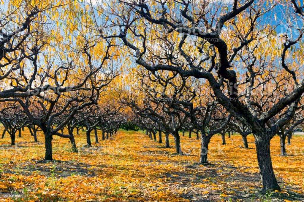Organic Farm Peach Orchard Okanagan Valley stock photo