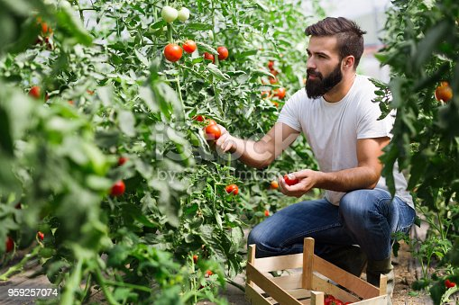 istock Organic farmer checking his tomatoes in a hothouse 959257074