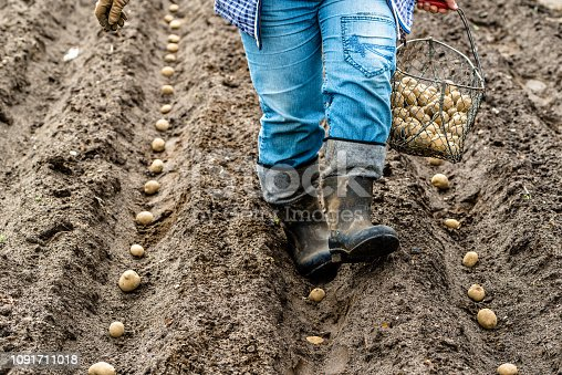 Organic farming of potatoes, planting tubers to the soil in bio farm, local farming concept