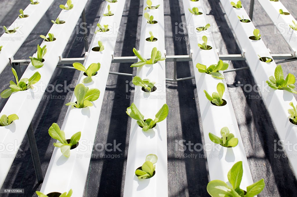 Organic Farming (Hydroponic vegetable) stock photo