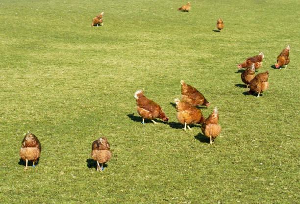 Ökologische Landwirtschaft mit glücklichen Hühnern – Foto